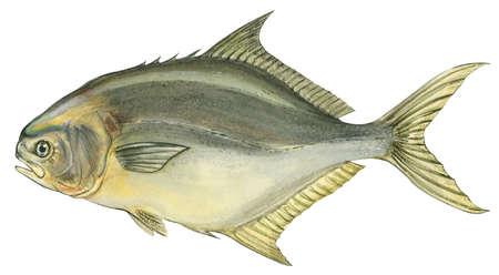 Stock illustration florida pompano trachinotus carolinus for Florida pompano fish