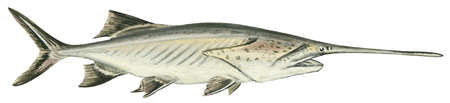 American paddlefish (Polyodon spathula)