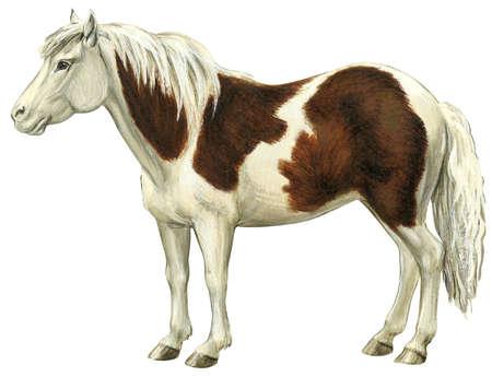 Pony (Equus caballus)