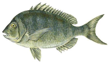 Porgy (Stenotomus chrysops)