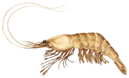 Pink shrimp (Farfantepenaeus duorarum)