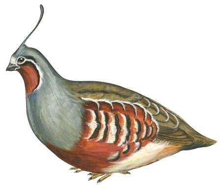 Mountain quail (Oreortyx pictus)