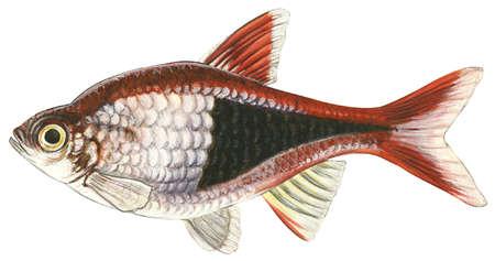 Red rasbora (Rasbora heteromorpha)