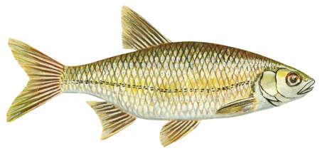 Golden shiner (Notemigonus crysoleucas)