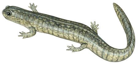 Small-mouthed salamander (Ambystoma texanum)