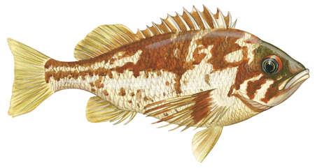 Rockfish (Sebastodes caurinus)