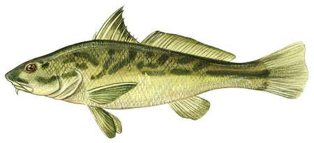 Northern kingfish (Menticirrhus saxatilis)