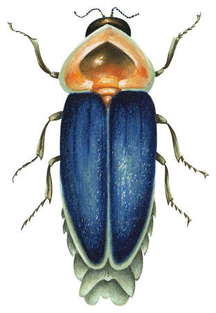 Stock Illustration - Male firefly insect (Family Lampyridae)