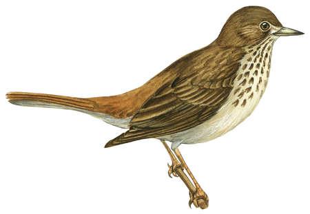 The hermit thrush (Catharus guttatus), the state bird of Vermont.