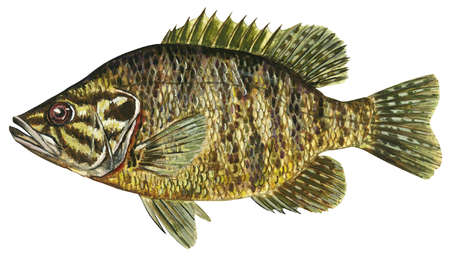 Warmouth (Chaenobryttus gulosus)