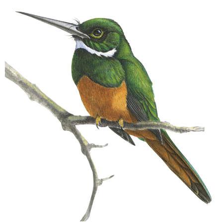 Rufous-Tailed jacamar (Galbula ruficauda)