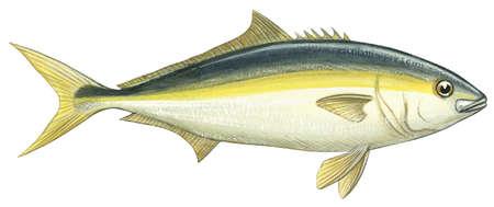 Yellowtail (Seriola lalandi)