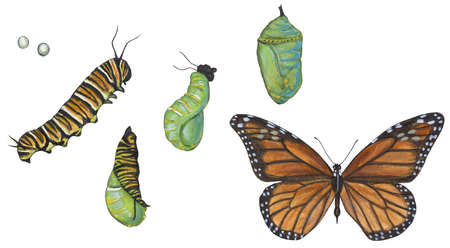 Life stages of Monarch butterfly (Danaus plexippus)