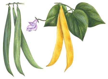 Kidney bean (Phaseolus vulgaris)