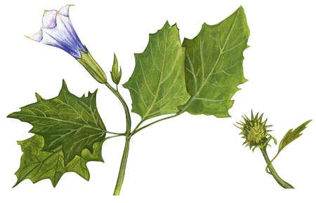Jimsonweed (Datura stramonium)