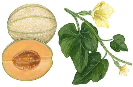 Stock Illustration - Cantaloupe (Cucumis melo)