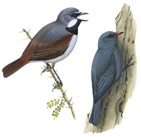(Left) Red-Tailed Vanga-Shrike (Calicalicus madagascariensis) and (right) Coral-Billed nuthatch (Hypositta corallirostris)