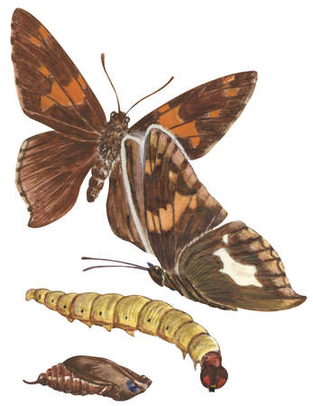 The life stages of a Silver-spotted skipper butterfly (Epargyreus clarus)