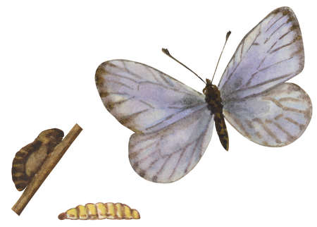 The life stages of a Common Blue butterfly (subfamily Plebeiinae)