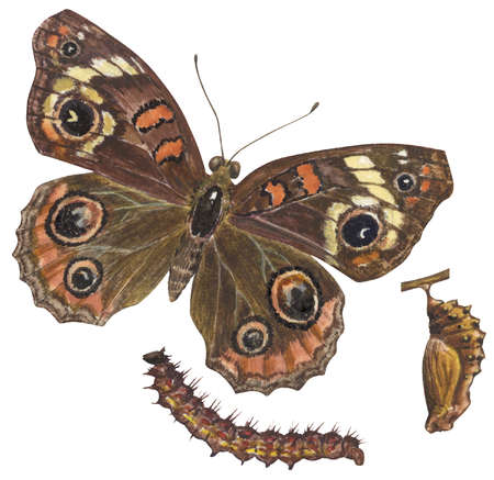 The life stages of a Common Buckeye butterfly (Junonia coenia)