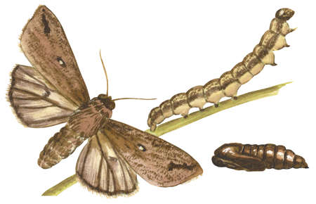 The life stages of a Army Worm moth