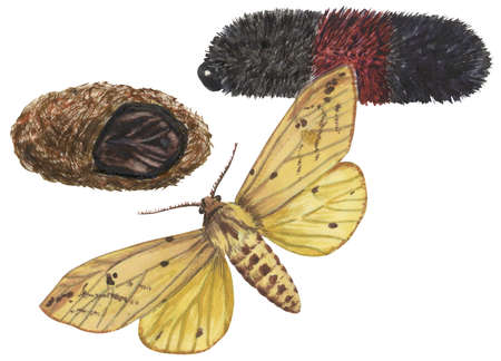 The life stages of an Isabella tiger moth (Isia Isabella)