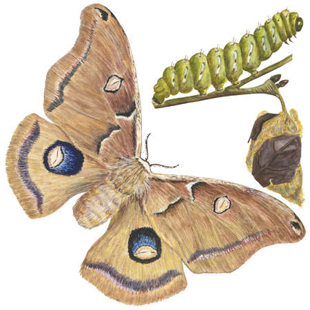 The life stages of a Polyphemus moth (Antheraea polyphemus)