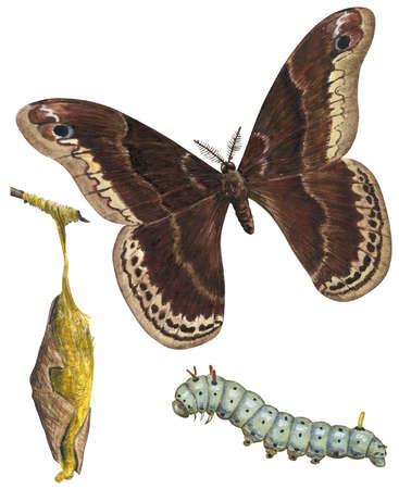 The life stages of a Promethea moth (Callosamia promethea)