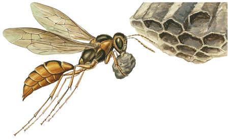 A paper wasp (genus Polistes) making a hive