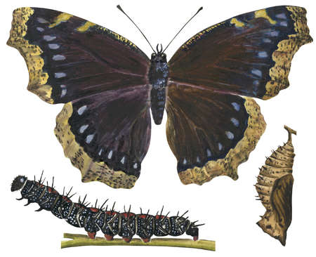 The Mourning Cloak butterfly (Nymphalis antiopa) is one of the earliest to appear in spring
