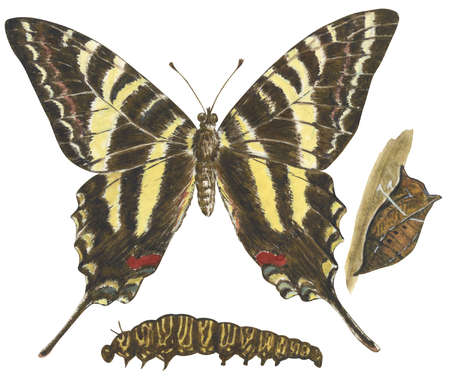 The life stages of a Zebra swallowtail butterfly (Eurytides marcellus)