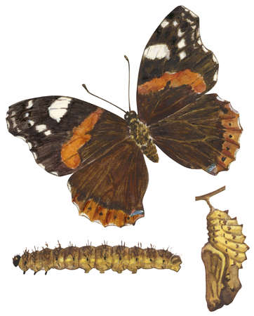 The life stages of a Red Admiral butterfly (Vanessa atalanta)