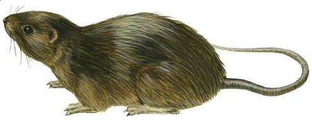 Florida water rat (Neofiber alleni)