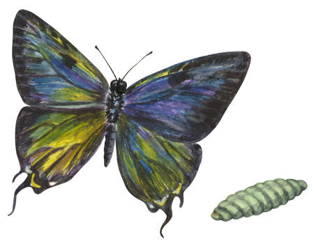 The life stages of a Great Purple Hairstreak butterfly (Atlides halesus)