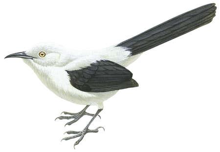 Southern Pied babbler (Turdoides bicolor)