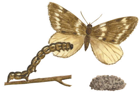 The life stages of a Fall Cankerworm moth (Alsophila pometaria)