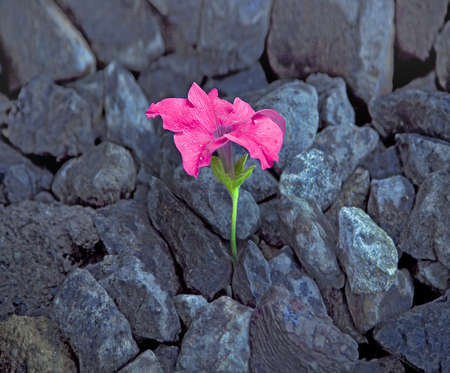 Pink flower growing from rocks