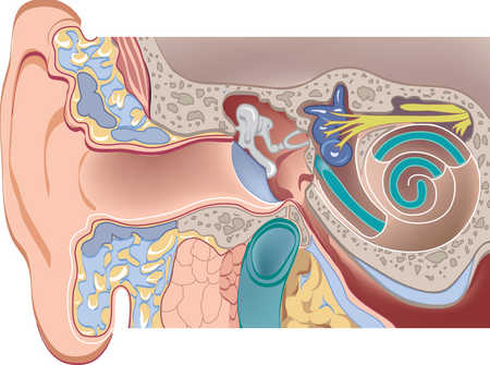 Cross-section of auditory canal and cochlea