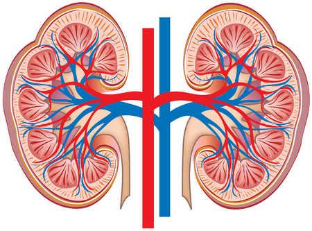 Cross-section of kidneys