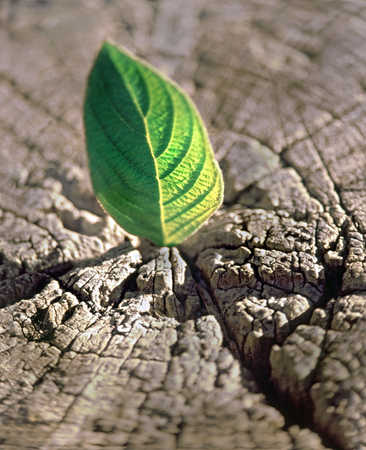 Green leaf growing in cracked wood stump