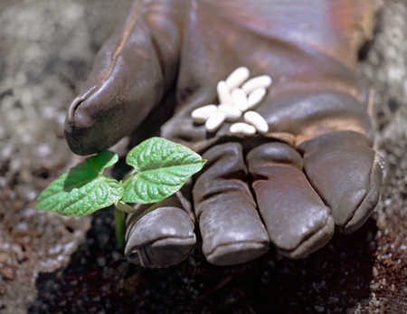 White kidney beans seeds and seedling on work glove