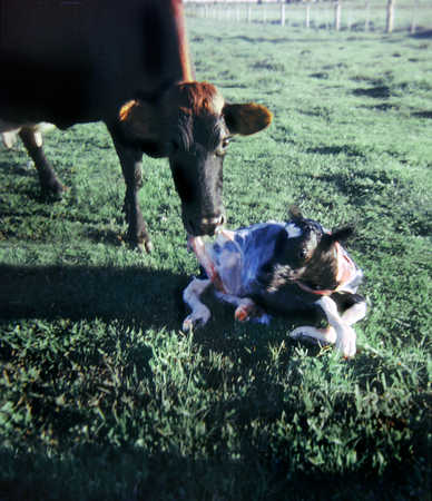 Cow and newborn calf covered in birth sack