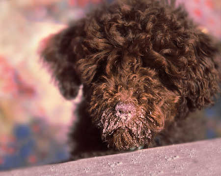 Brown poodle dog with dirt on nose, close-up
