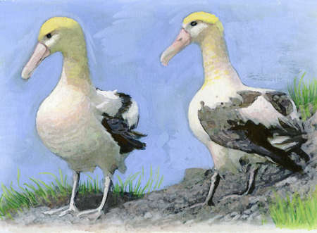 A picture of two short tail albatross