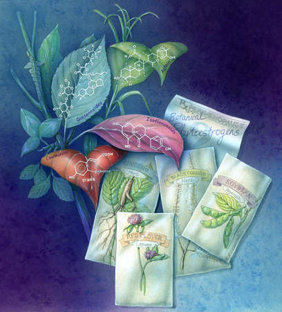 Illustration of plants containing phytoestrogens. Phytoestrogens, which act as weak estrogens in the body, are thought to ease menopausal symptoms, prevent osteoporosis and heart disease. They are found in such plants as soy, chickpeas, and red clover.