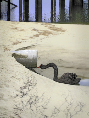 Black swan drinks water from drainpipe