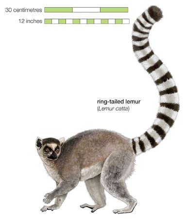 Ring tailed lemur (Lemur catta)