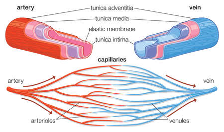 Cross-section showing component parts of arteries and veins