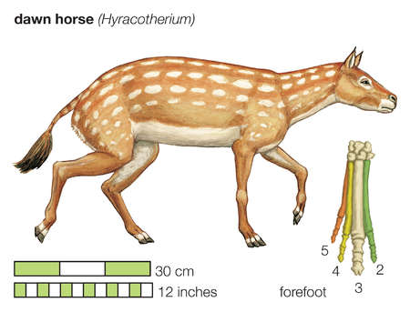 The extinct dawn horse (Hyracotherium). Existing toe bones of the forefoot are numbered outward from the centre of the body.