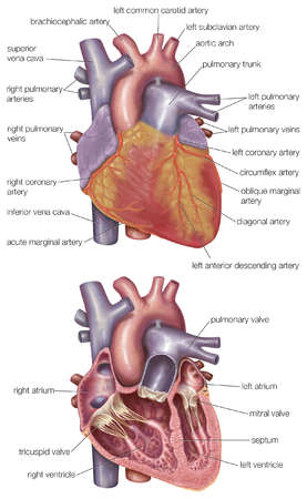 Diagram showing the exterior and a cross-section of the human heart